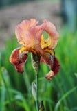 Irisblume draußen Lizenzfreies Stockbild