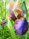 Irisblume draußen Lizenzfreie Stockbilder