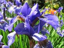 Irisblume im Garten Stockbilder