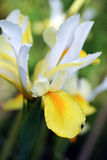 Irisblume im Garten Lizenzfreie Stockbilder