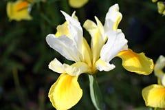 Irisblume im Garten Lizenzfreie Stockfotos