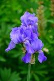 Irisblume im Regen Stockbild