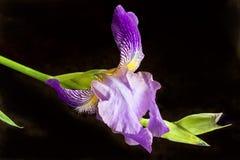 Irisblume lokalisiert auf Schwarzem Stockfotos