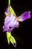 Irisblume lokalisiert auf Schwarzem Lizenzfreie Stockfotos