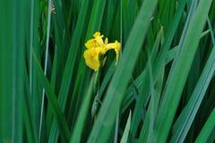 Irisblume mit grünen Blättern Stockbild