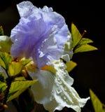 Irisblume nach einem starken Regen Lizenzfreies Stockbild