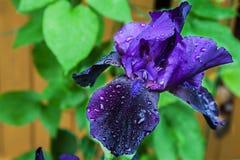 Irisblume nach Regen Stockfotos