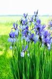 Irisblume nahe dem Wasser Stockfotografie