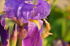 Irisblume in voller Blüte, Nahaufnahme Stockbild