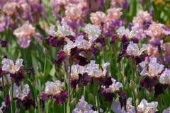 Irisblumen Stockfotografie