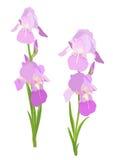 Irisblumen stock abbildung