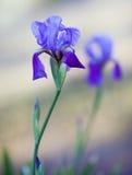 Irisblumen auf dem unscharfen Hintergrund Lizenzfreie Stockfotos