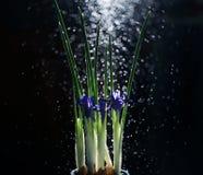 Irisblumen auf einem schwarzen Hintergrund Stockbilder