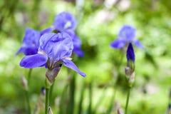 Irisblumen auf grünem Gartenhintergrund Lizenzfreie Stockbilder