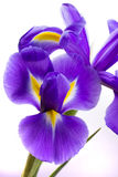 Irisblumen auf weißem Hintergrund Stockfoto