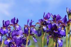 Irisblumen gegen blauen Himmel Lizenzfreies Stockfoto