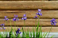 Irisblumen gegen die Holzhauswand Lizenzfreie Stockfotografie