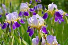 Irisblumen im Garten Stockfotografie