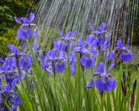 Irisblumen im Regen Stockbild