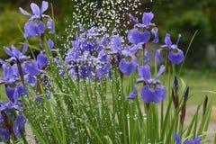 Irisblumen im Regen Stockbilder
