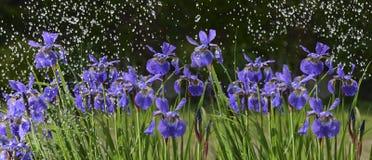 Irisblumen im Regen Stockfoto
