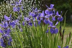 Irisblumen im Regen Stockfotos