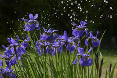 Irisblumen im Regen Lizenzfreies Stockbild