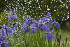 Irisblumen im Regen Lizenzfreie Stockfotos