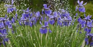 Irisblumen im Regen Stockfotografie