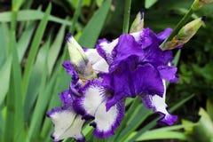 Irisblumen Schöne Flieder und weiße Iris im Frühjahr Dekoratives Motiv mit Blumen und Vögeln Empfindliche frische Blumen Lizenzfreies Stockbild