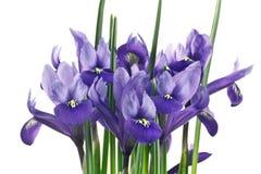 Irisblumen und -blätter Stockfotos