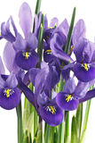 Irisblumen und -blätter Stockfotografie