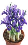 Irisblumen und -blätter Stockbilder