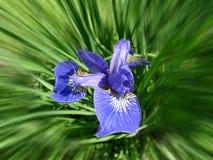 Irisblumenbeet Lizenzfreie Stockfotografie