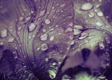 Irisblumenblätter mit Regentropfennahaufnahme Stockfotografie