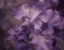 Irisblumenblätter schließen oben Stockbilder