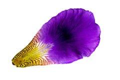 Irisblumenblatt auf wei?em Hintergrund Getrennt Makromuster der Purpur- und violetterblumennahaufnahme stockfotografie