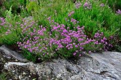 Irisch-Heide Stockbild