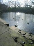 Irische Enten und Tauben Lizenzfreies Stockbild