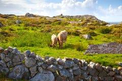 Irische Kühe auf Weide Stockfoto