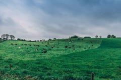 Irische Landschaft mit Kühen in einer Weide an einem bewölkten Tag Stockbilder