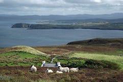 Irische Landschaft mit Schafen Stockfoto