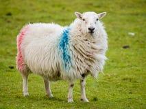 Irische Schafe Stockfotos