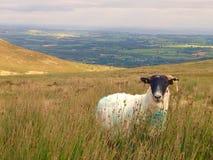 Irische Schafe Stockbild