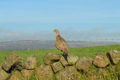 Irischer Fasan, der über Feld schaut stockfoto