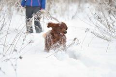 Irischer roter Setzer der Hunderasse Stockbilder