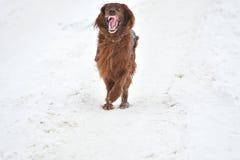 Irischer roter Setzer der Hunderasse Stockfoto