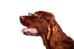 Irischer Hund des roten Setzers in den Gläsern Lizenzfreie Stockfotografie