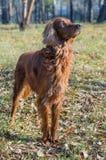 Irischer Setter. stockbild