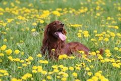 Irischer Setter in den Blumen Stockfoto
